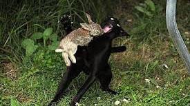El Ecuador, representado por un poderoso gato negro, defiende su soberanía de los embates de Assange, el inocente conejito.