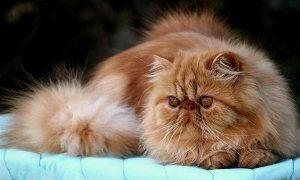 razas-gatos-persa